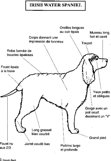 Morphologie de l'Irish Spaniel
